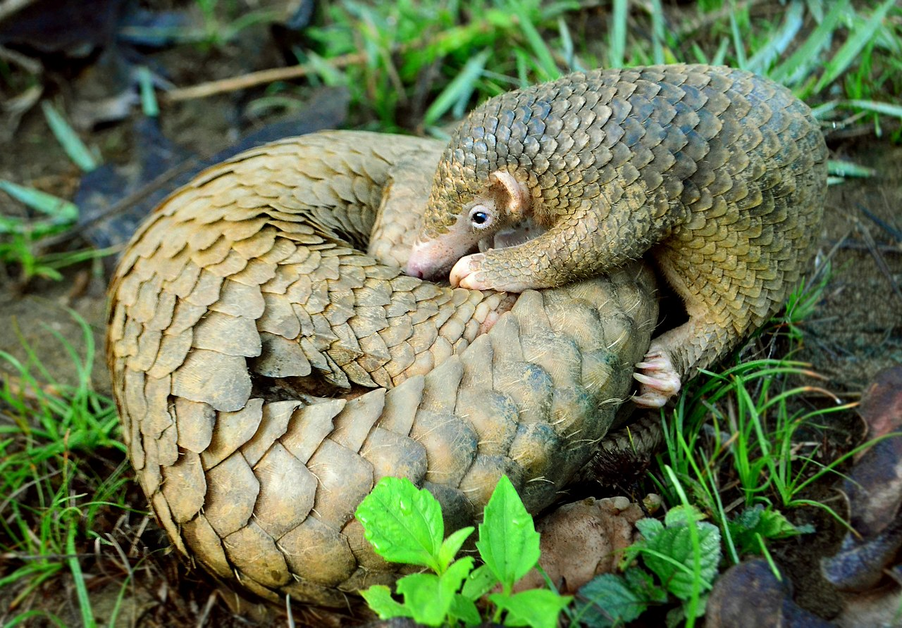 1280px-Philippine_Pangolin_Curled-up_by_Gregg_Yan.jpg