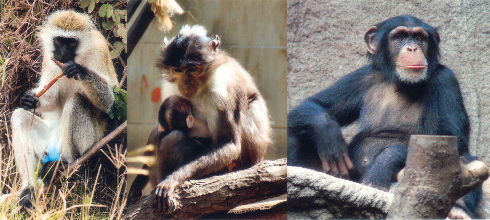1920px-SIV_primates.jpg