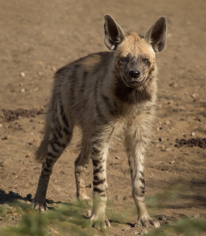 Striped_Hyena_Adult (1).jpg